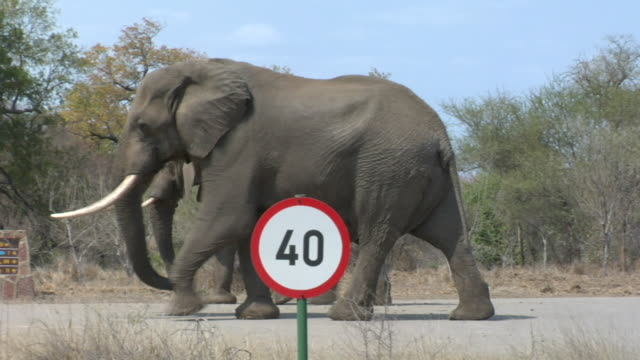ws, pan, two african elephants (loxodonta africana) crossing road, kruger national park, south africa - speed limit sign stock videos & royalty-free footage
