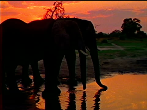 Two African elephants drink at a watering-hole under a pink sky.