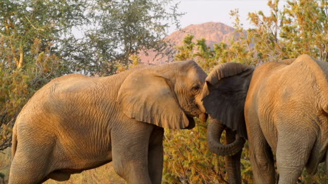 stockvideo's en b-roll-footage met ms two african elephants face to face / namibia - namibië