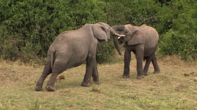 vídeos de stock e filmes b-roll de ms, two african elephants (loxodonta africana) interacting, masai mara, kenya - emaranhado