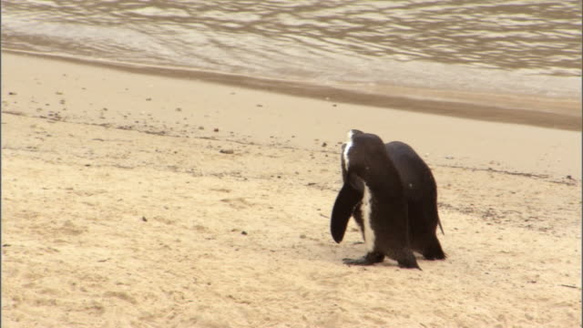 two african penguins hang out on a beach. - boulder beach western cape province stock videos and b-roll footage