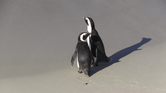 Two African penguins sitting on a beach talking