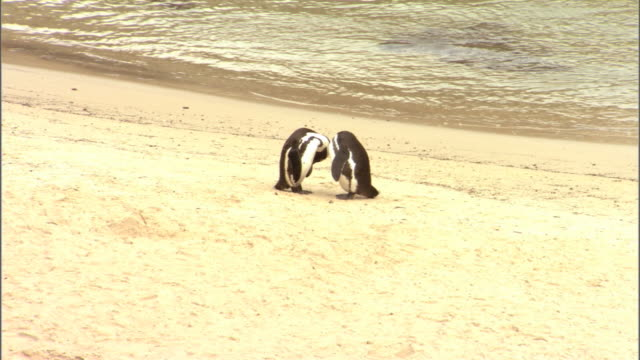 two african penguins sleep on a beach. - boulder beach western cape province stock videos and b-roll footage
