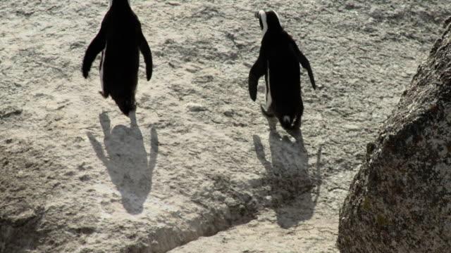 ms tu two african penguins (spheniscus demersus) walking on rocks on boulders beach, western cape, south africa - boulder beach western cape province stock videos and b-roll footage