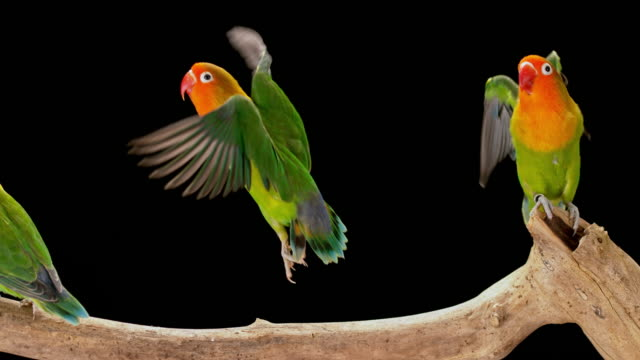 stockvideo's en b-roll-footage met slo mo twee agapornis papegaaien opstijgen uit een tak die het verlaten van een achter - kleine groep dieren