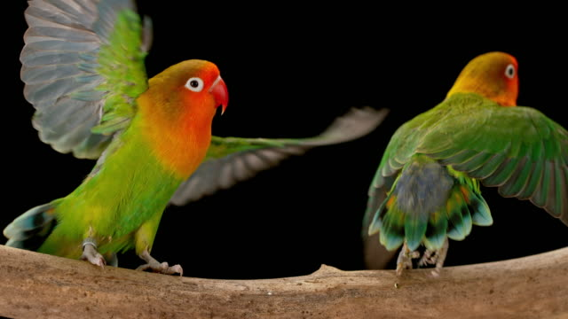 slo mo two agapornis parrots taking off into the air on black background - animal wing stock videos & royalty-free footage