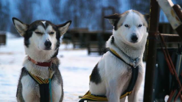 two alaskan huskies sitting. - trained dog stock videos & royalty-free footage