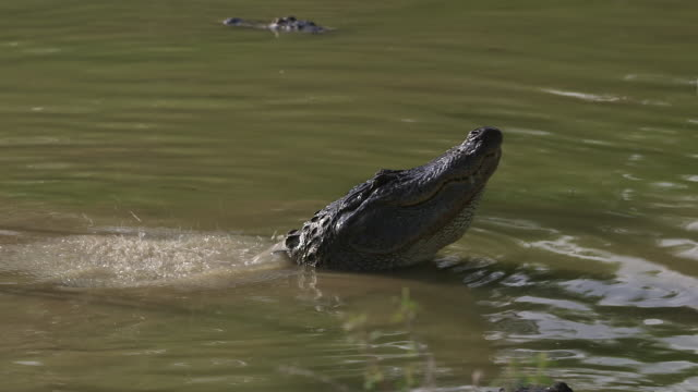 two alligators fight - wiese stock videos & royalty-free footage