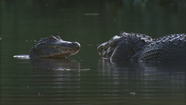 two alligators  stare at each other until one crawls on top of the other. - アリゲーター点の映像素材/bロール