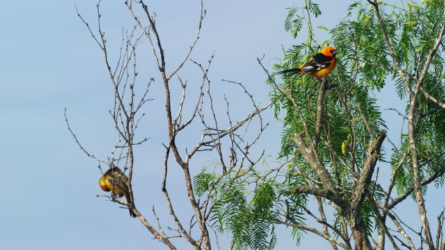 two altamira orioles perching in tree - perching stock videos & royalty-free footage