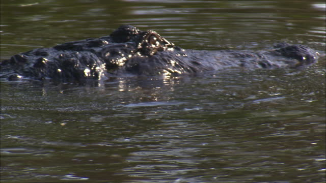 two american alligators nuzzle, then one submerges. - american alligator stock videos & royalty-free footage