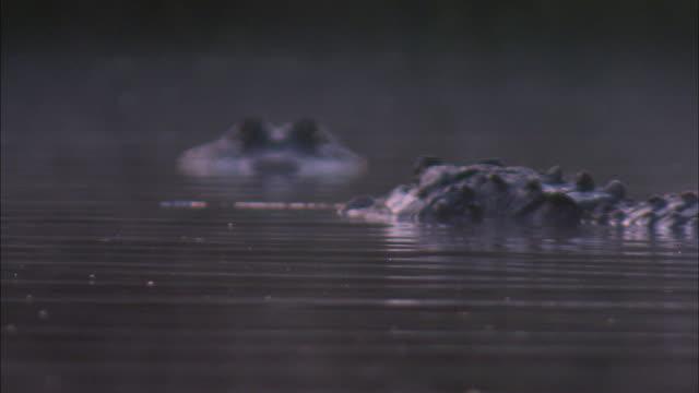 two american alligators swim past a third. - american alligator stock videos & royalty-free footage