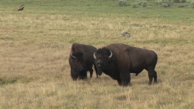 vidéos et rushes de ms, pan, two american bison (bison bison) with calf in field, hayden valley, yellowstone national park, wyoming, usa - parc national de yellowstone