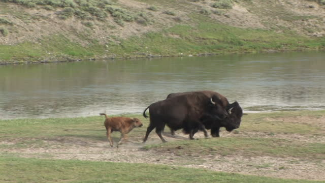 MS, PAN, Two American Bison (Bison bison) with calf walking along Yellowstone river, Hayden Valley, Yellowstone National Park, Wyoming, USA