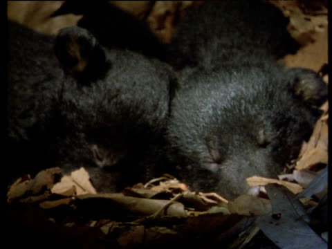 Two American black bear cubs asleep in leafy den