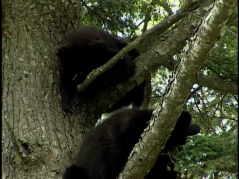 zi, zo, two american black bear (ursus americanus) cubs resting in tree, alberta, canada - two animals stock videos & royalty-free footage