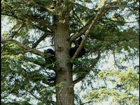 zi, ms, two american black bear (ursus americanus) cubs resting in tree, alberta, canada - bärenjunges stock-videos und b-roll-filmmaterial