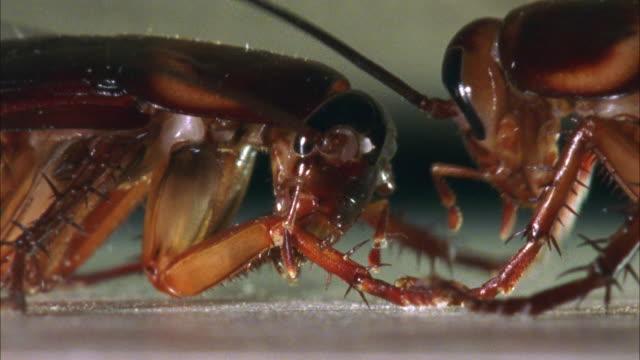 vidéos et rushes de cu, two american cockroaches (periplaneta americana) face to face - insecte