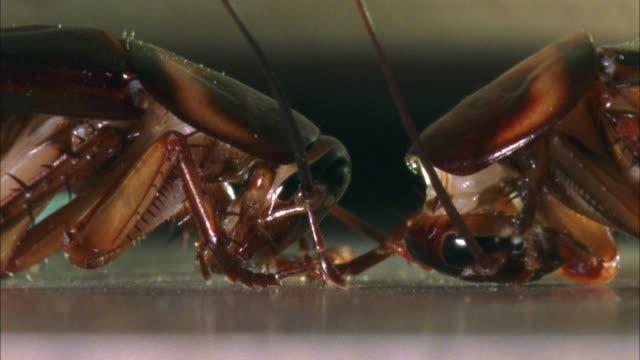 cu, two american cockroaches (periplaneta americana) face to face - ゴキブリ点の映像素材/bロール