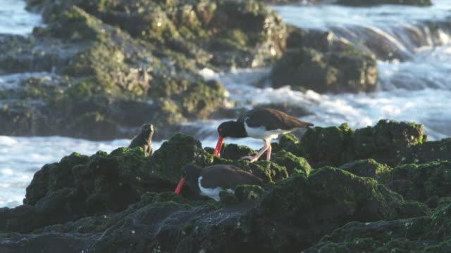two american oystercatchers and a marine iguana - ミヤコドリ点の映像素材/bロール