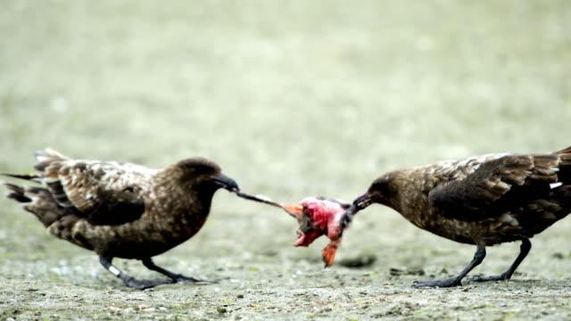 zwei antarktische raubmöwen angriff gemeinsam pinguin familien und töten pinguin babys, serie 6 - jungvogel stock-videos und b-roll-filmmaterial
