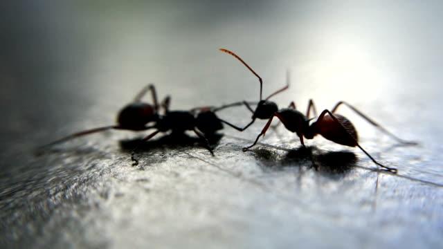 vídeos de stock, filmes e b-roll de três formigas luta: fotos macro - fauna silvestre