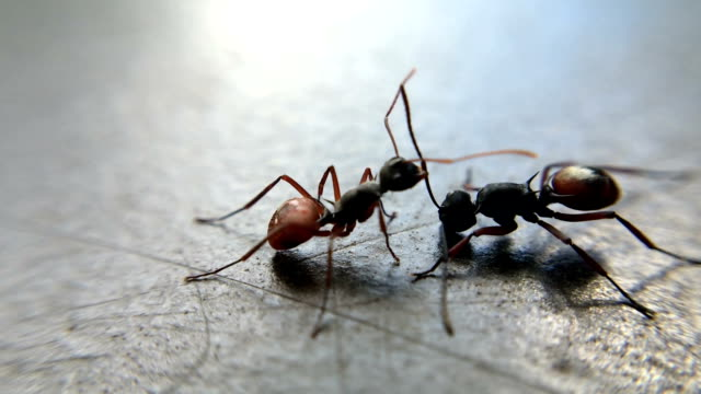 Two ants fight