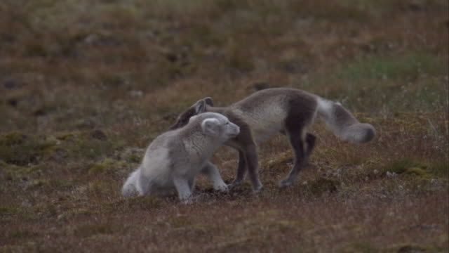 Two arctic fox cubs play on the tundra of Camp Miller in Svalbard, Norway.