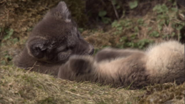 Two arctic fox cubs playfight on mossy rocks near their den in Svalbard, Norway.