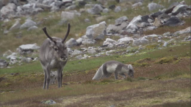 Two arctic foxes play near a reindeer on the tundra of Miller's Camp in Svalbard, Norway.