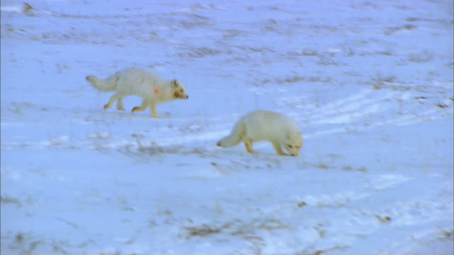Two Arctic Foxes running on snowfield