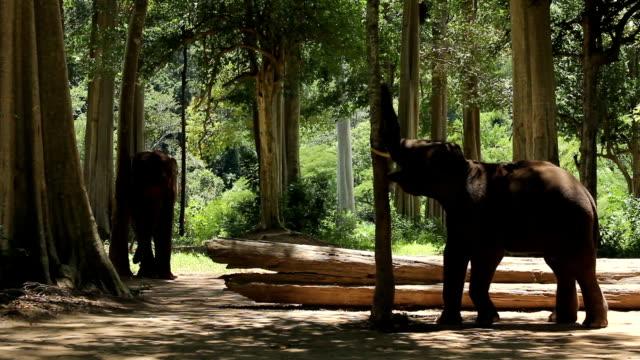 2 つの小さなアジア象 - 厚皮動物点の映像素材/bロール