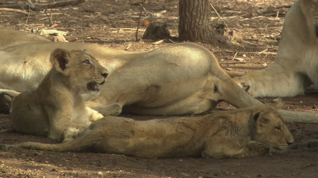 two asiatic lion cubs near the mother - schnurrhaar stock-videos und b-roll-filmmaterial