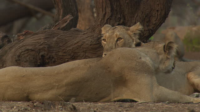 two asiatic lionesses grooming each other - two animals stock videos & royalty-free footage