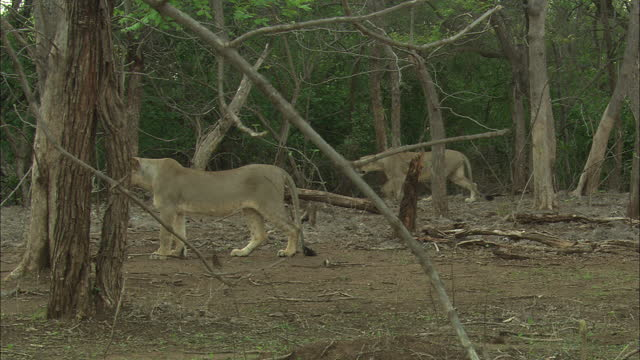 two asiatic lionesses stands at distance in woodland - two animals stock videos & royalty-free footage