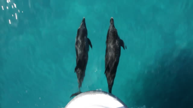 two atlantic spotted dolphins bowriding, shot from above, occasionally surfacing to breathe  - delfino video stock e b–roll