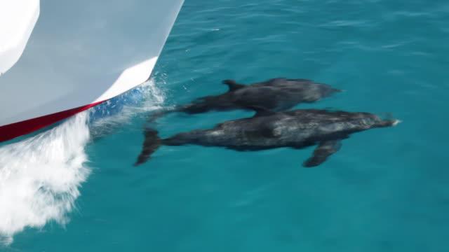 vídeos de stock e filmes b-roll de two atlantic spotted dolphins bowriding  - golfinho pintado pantropical