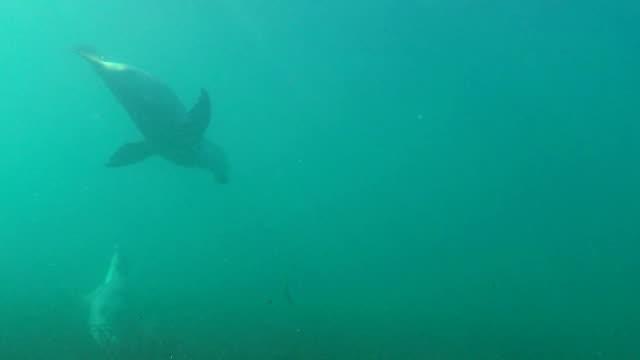 two australian sea lions playing in shallow water, neptune islands, south australia. - south australia bildbanksvideor och videomaterial från bakom kulisserna