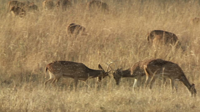 ws zi ms two axis deer (axis axis) stags fighting in grassy meadow / madhya pradesh, india - interlocked stock videos & royalty-free footage
