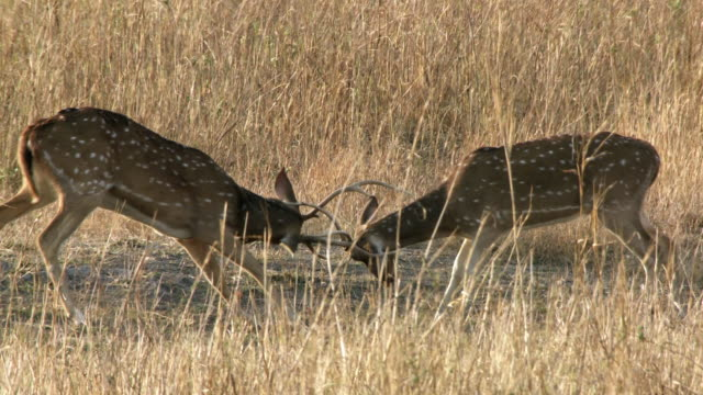 ms two axis deer (axis axis) stags fighting in grassy meadow / madhya pradesh, india - interlocked stock videos & royalty-free footage
