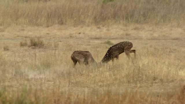 ws pan two axis deer (axis axis) stags fighting in grassy meadow / madhya pradesh, india - interlocked stock videos & royalty-free footage