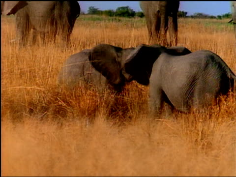 two baby african elephants fight playfully in tall grass. - elefant stock-videos und b-roll-filmmaterial