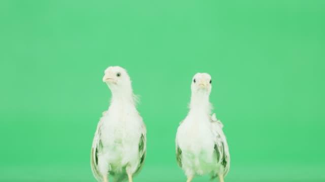 stockvideo's en b-roll-footage met 4k twee baby kriel kip op een groen scherm - hen