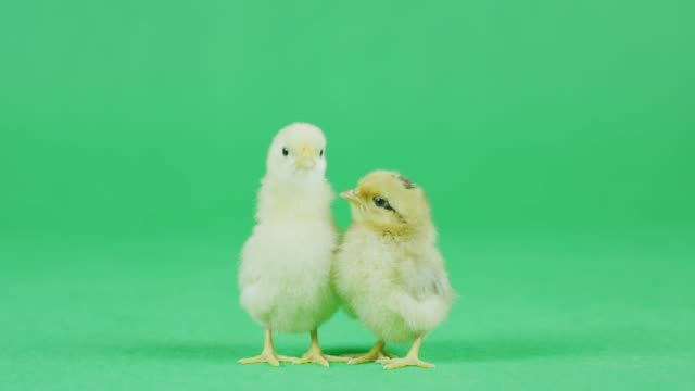 4k cu two baby bantam chicken with green screen - young bird stock videos & royalty-free footage