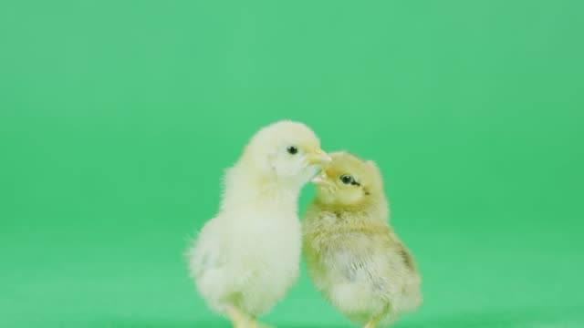 4k cu two baby bantam chicken with green screen - baby chicken stock videos & royalty-free footage