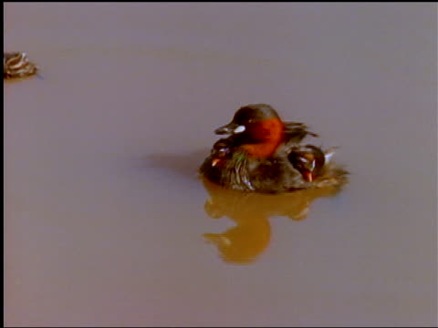 vidéos et rushes de two baby ducks ride on their mother's back. - se lisser les plumes