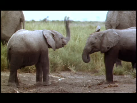 two baby elephants play with a piece of cloth. - tierische nase stock-videos und b-roll-filmmaterial