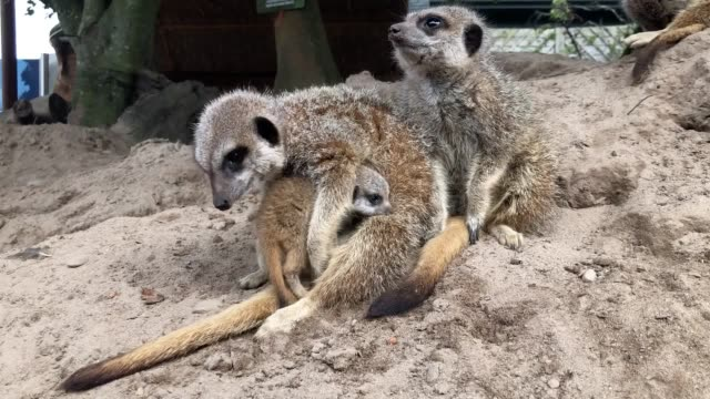two baby meerkats named peek and boo begin to leave their den and explore their enclosure at blair drummond safari park near stirling the four week... - mother stock videos & royalty-free footage