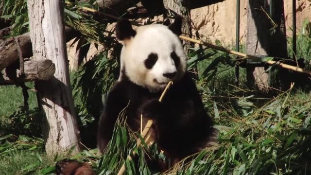 vídeos y material grabado en eventos de stock de two baby pandas are born at france's beauval zoo late on friday night but one sadly dies not long after its birth but father panda yuan zi appears... - panda animal