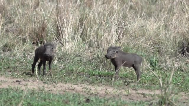 Two Baby Warthogs on Serengeti in Tanzania East Africa